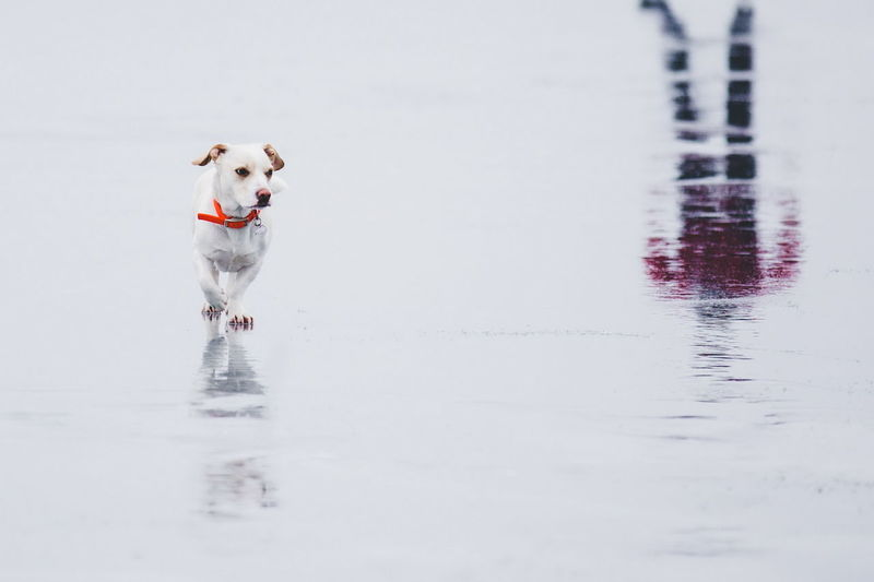 Dog on frozen lake with reflection of person