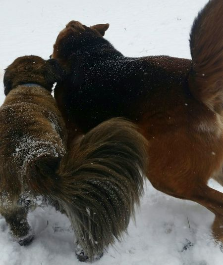 Fluffy Tail Dogs Playing In The Snow Cold Day Snow Dogs Winter Ohio, USA