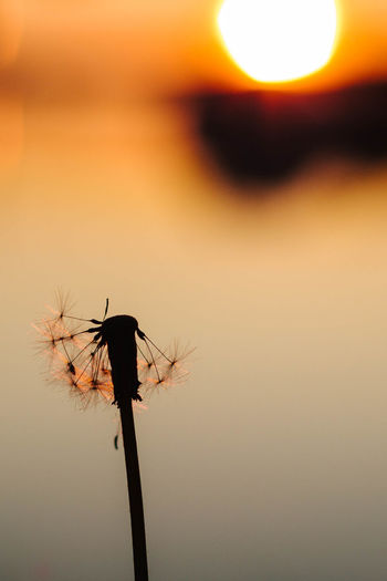 Dandelion silhouette and sunset Beauty In Nature Dandelion Seeds Nature No People Orange Color Outdoors Silhouette Sky Sunset Sunset Silhouettes