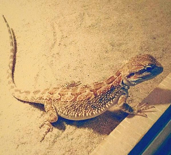 Pepsi Bartagame Bartagamen Animal Love Hello World First Eyeem Photo Tierliebe Terrarium Terraristik