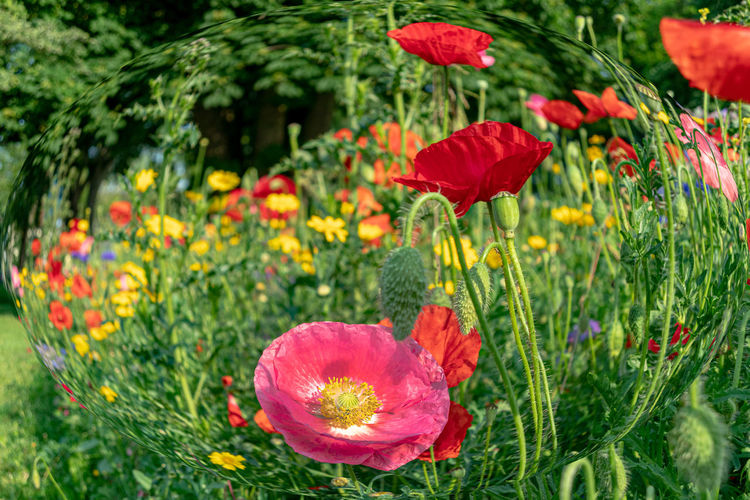 Flowering Plant Flower Plant Beauty In Nature Freshness Vulnerability  Fragility Growth Petal Inflorescence Flower Head Red Close-up Poppy Green Color Nature Land Day No People Field Outdoors Springtime Flowerbed Mohnblüte