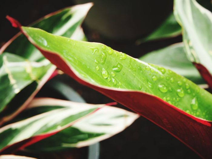 Waterdrop on beautiful foliage, close up shot Beauty Of Nature Tropical Freshness Red Close-up Garden Photography Leaf Water Plant Green Color Botany Droplet