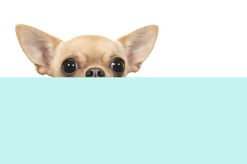 Cute chihuahua dog peeking over the edge of a blue box on a white background with space for copy Copy Space Blue Background Chihuahua Chihuahua Dog Peeking Over The Edge Animal Animal Themes Dog Canine Pets One Animal Domestic Animals Animal Head  Chihuahua - Dog Studio Shot Portrait Cute Blue