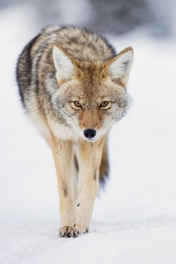 Portrait of coyote on snow