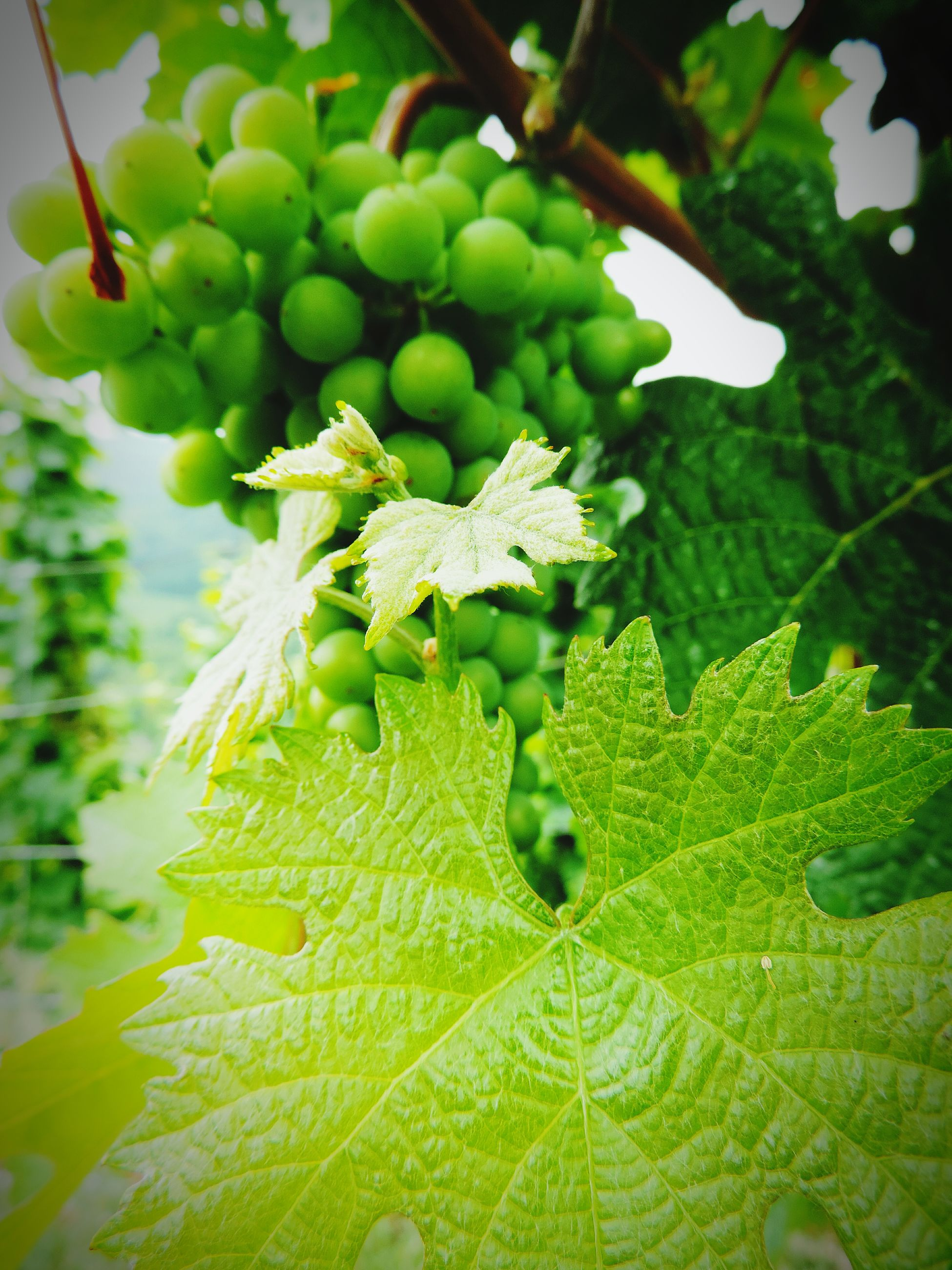 green color, food and drink, leaf, fruit, freshness, food, healthy eating, growth, close-up, focus on foreground, grape, nature, agriculture, plant, green, vineyard, growing, day, no people, vine
