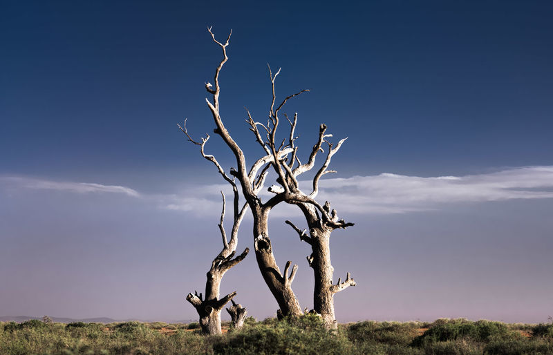 Dead trees dancing, Flinders Ranges, South Australia. Dead Trees Dead Trees Nature Deep Blue Sky Line Of Clouds Flinders Ranges Flinders Ranges. South Australia. Australia. South Australia South Australian Outback Sony A7RII Nature Art Nature Art Photography EyeEm Nature Collection Shapes Shapes And Forms Sky Tree Plant Bare Tree Nature Environment No People Field Land Cloud - Sky Day Beauty In Nature Dead Plant Tranquility Scenics - Nature Branch Landscape Non-urban Scene Tranquil Scene Outdoors Arid Climate Desert Beauty Desert Landscape Travel Travel Destinations Travel Photography EyeEm Travel Photography Eyeem Travel