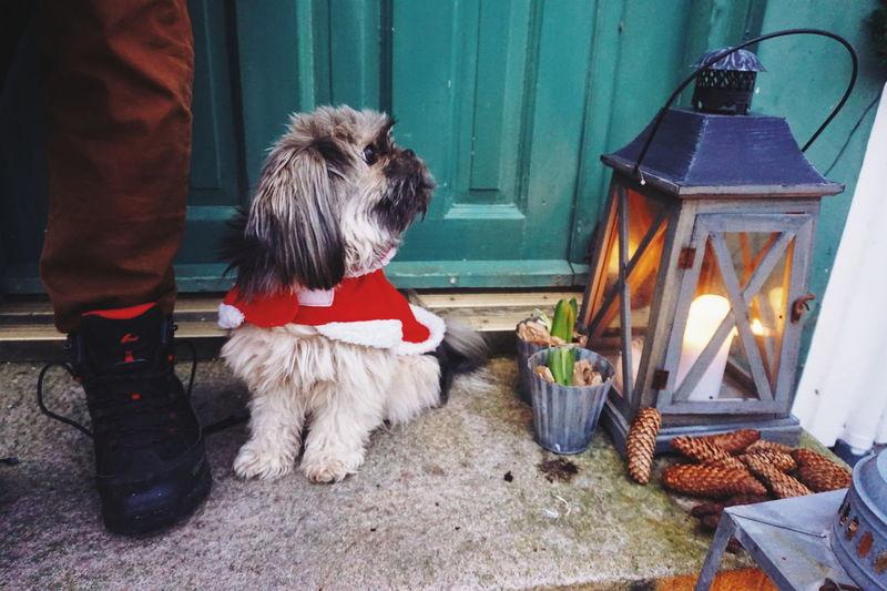 home for christmas Pets One Animal Animal Themes Domestic Animals Mammal Dog Christmas Lights Celebrating Celebration Christmas Decoration Christmas Home For Christmas Entrance