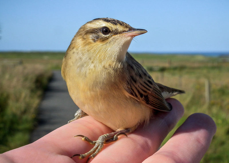 Beak Bird Close-up Day Focus On Foreground Holding Nature One Animal Sedge Warbler Wildlife Zoology A Bird In The Hand Hand