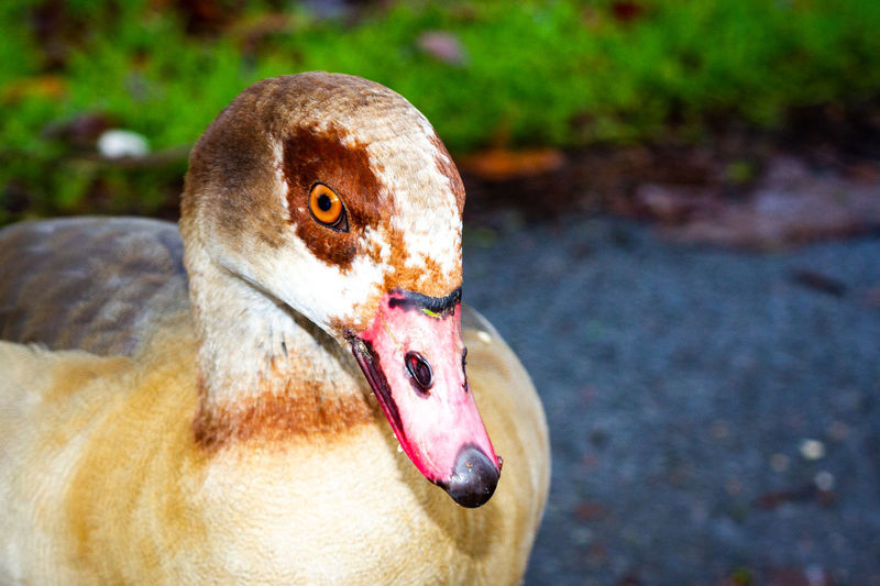 Egyptian goose looking into the camera cheekily
