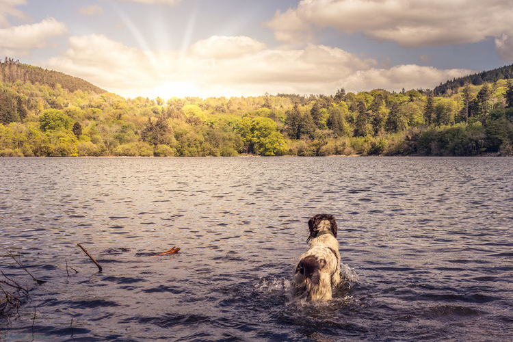Dog in lake against sky during sunset