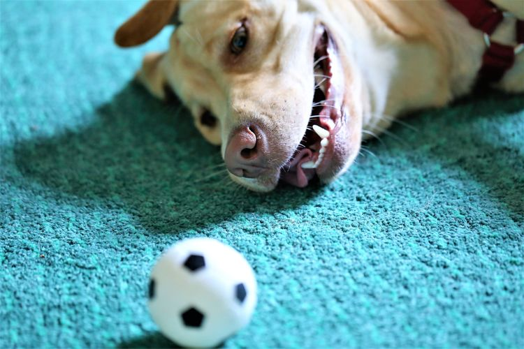 Close-up of dog relaxing by toy ball on rug