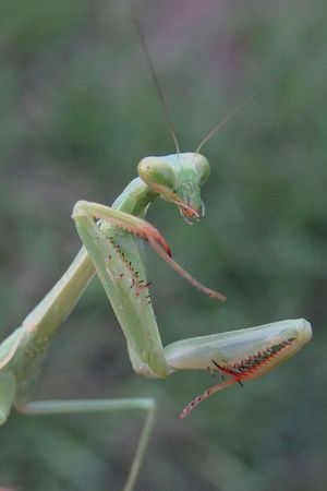 Insect Animal Wildlife Animals In The Wild Animal Themes One Animal Day No People Nature Close-up Outdoors Green Color Praying Mantis Mantis Mantis Head Praying Mantis Spotting Mantis Mouth Insect Collection Close Up Macro Big Eyes Preditor Good Insect Long Antenna Antenna Bugs