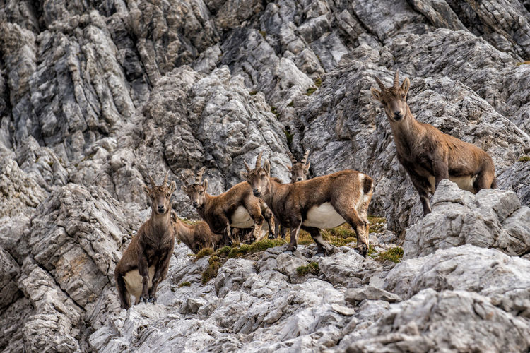 Alpine ibex herd Animal Themes Animal Animal Wildlife Animals In The Wild Mammal Group Of Animals Rock No People Rock - Object Young Animal Nature Solid Vertebrate Day Full Length Two Animals Animal Family Outdoors Togetherness Formation Alpine Ibex Ibex Steinbock Capra Ibex Autumn Tyrol Alps Mountain Austria