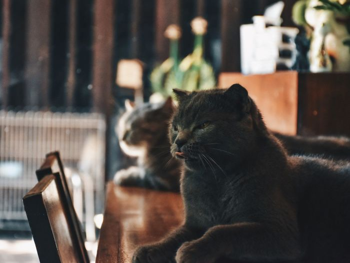 Cats resting on table at home