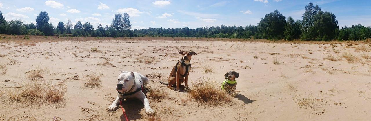Dogs Dogslife Dogo Argentino Miniature Dachshund Full Length Sunlight Walking Summer Landscape Outdoors