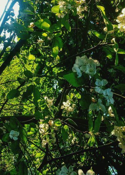 Blossom Tree Blossom Sunset Illuminated Lush Green Growing Sunshine