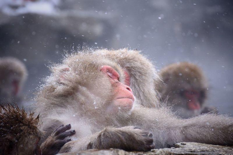 Monkeys in snow