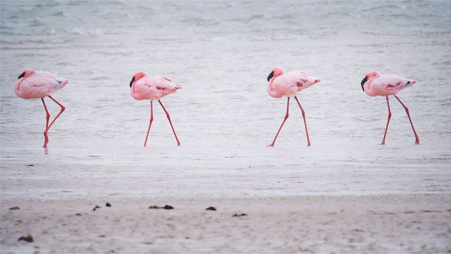 Flamingos on the beach Flamingo Walking Young Flamingo Pink Bird Bird On The Beach Bird Habitat West Coast National Park Flamingo EyeEm Selects Bird Animal Themes Animal Pink Color Animals In The Wild Flamingo Animal Wildlife Group Of Animals Beauty In Nature