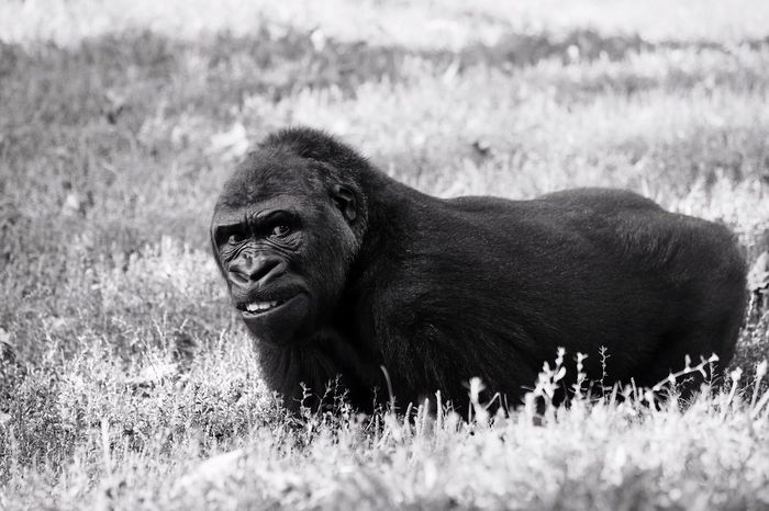 A young gorilla lying in the grass One Animal Mammal Animals In The Wild Animal Themes Nature Animal Wildlife Grass Outdoors No People Day Gorilla Close-up Animal Bongo Lying Resting Ape Monochrome Blackandwhite Black And White Black & White Young The Week On EyeEm Portrait Portrait Of An Animal