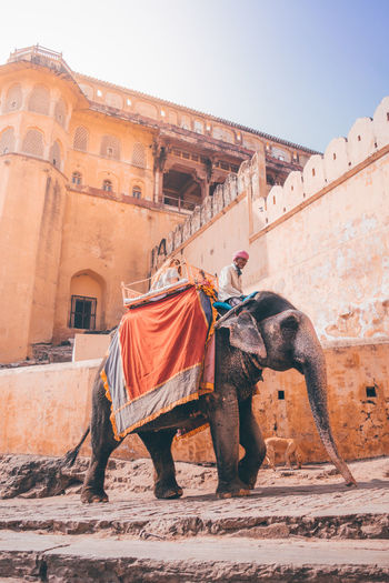 The big foot can scale these splendors but not the distance from our roots. Elephant Cultures Outdoors Mammal Architecture Rajasthan Rajasthantourismofficial Jaipur Amerfort Amber Fort Incredibleindia