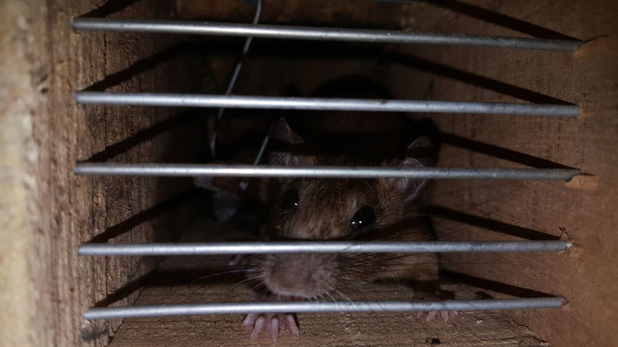 Trapped Rat -