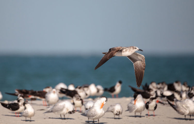 Herring gull larus argentatus on the beach at clam pass among black skimmer terns in naples, florida