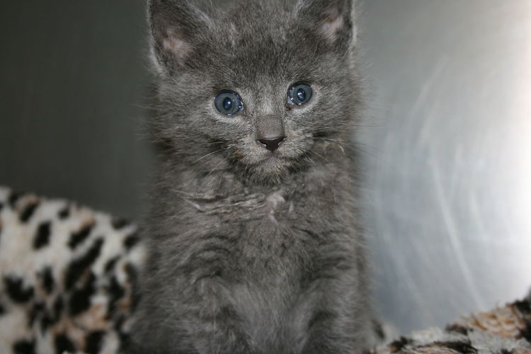 Blue Eyes Sitting Animal Themes Blue Kitten Close-up Day Domestic Animals Domestic Cat Feline Gray Indoors  Kitten Looking At Camera Mammal No People One Animal Pets Portrait Sitting Whisker
