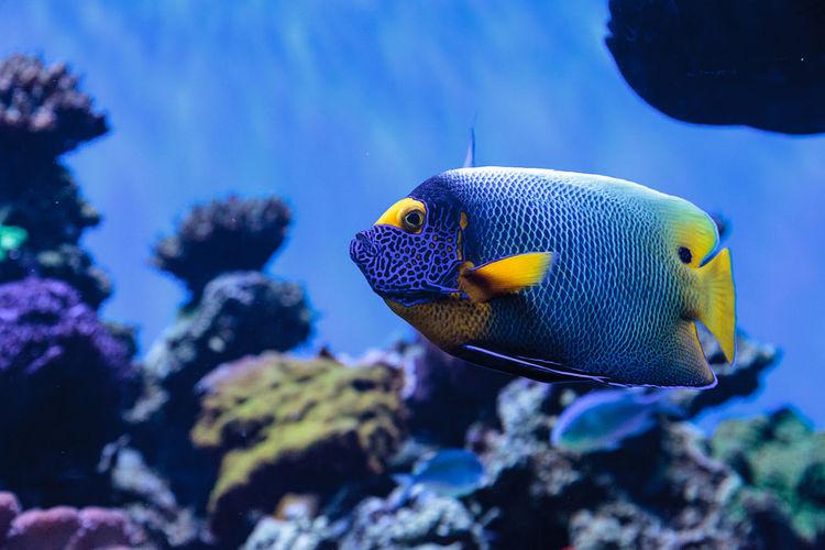 Close-up of blueface angelfish swimming in aquarium