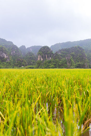 Rice field in Tam Coc Plant Landscape Beauty In Nature Land Field Growth Scenics - Nature Environment Tranquil Scene Nature No People Green Color Outdoors Rice Agriculture Sky Mountain Crop  Rural Scene Tranquility Day Mountain Range Rice Paddy Vietnam Tam Coc Selective Focus Cloudy