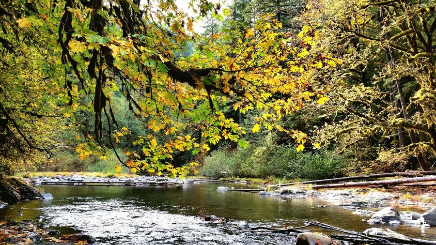 South Santiam River Oregon River Stream Autumn Autumn Leaves Fall Colors Autumn Colors Fall Leaves Trees Water Flowing Water Cascades Leaves Cascadia Willamette National Forest Pacific Northwest