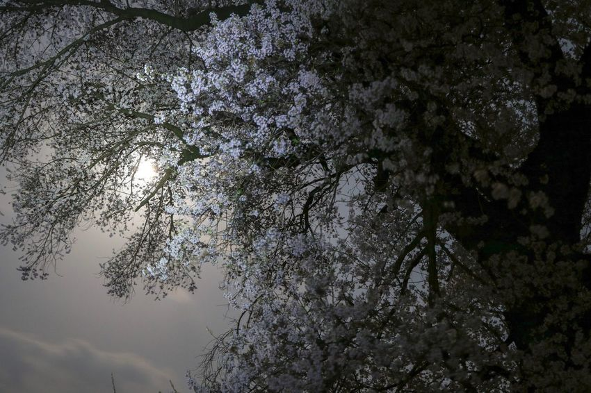月明りと桜 EyeEm Best Shots EyeEm Nature Lover Moonlight Tree Plant Nature Low Angle View No People Growth Beauty In Nature
