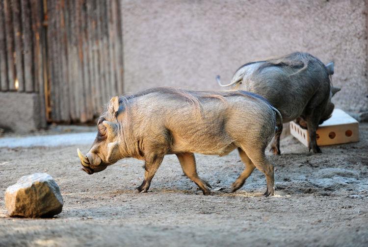 Side view of warthogs walking at zoo
