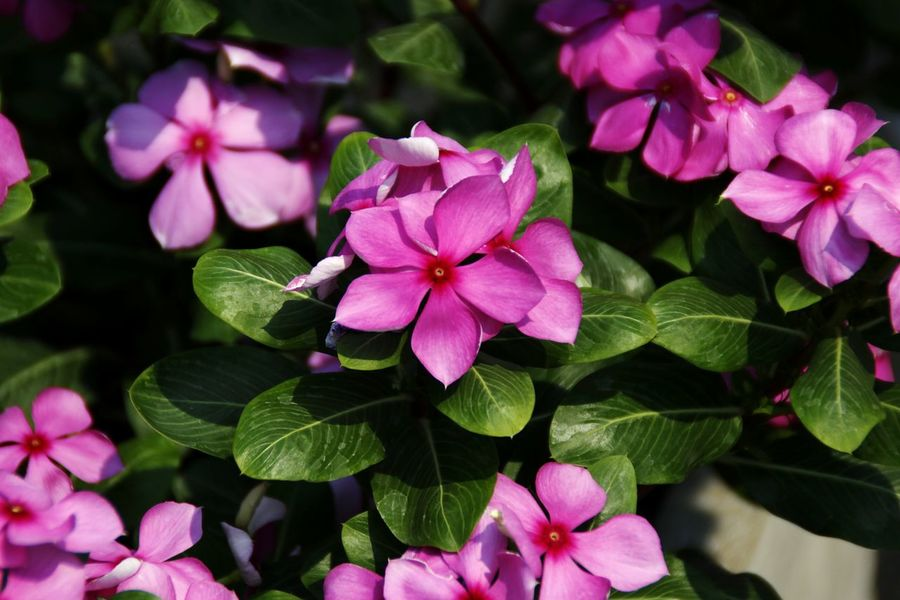 Flower Nature Beauty In Nature Flower Head Leaf Plant Pink Color No People Green Leaf Plant Nature Beauty In Nature Beautiful View Many Flowers