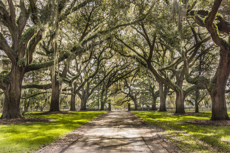 Landscape Live Oak Live Oak Arch Nature Pattern Plantation South Carolina Spanish Moss