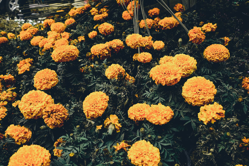 Beauty In Nature Beauty In Nature Blooming Close-up Day Flower Flower Head Flowers Fragility Freshness Growth Marigold Nature No People Outdoors Petal Plant Roses Sprig Yellow EyeEm Selects