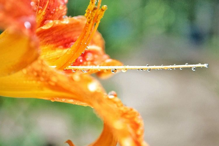 Close-up of wet tiger lily