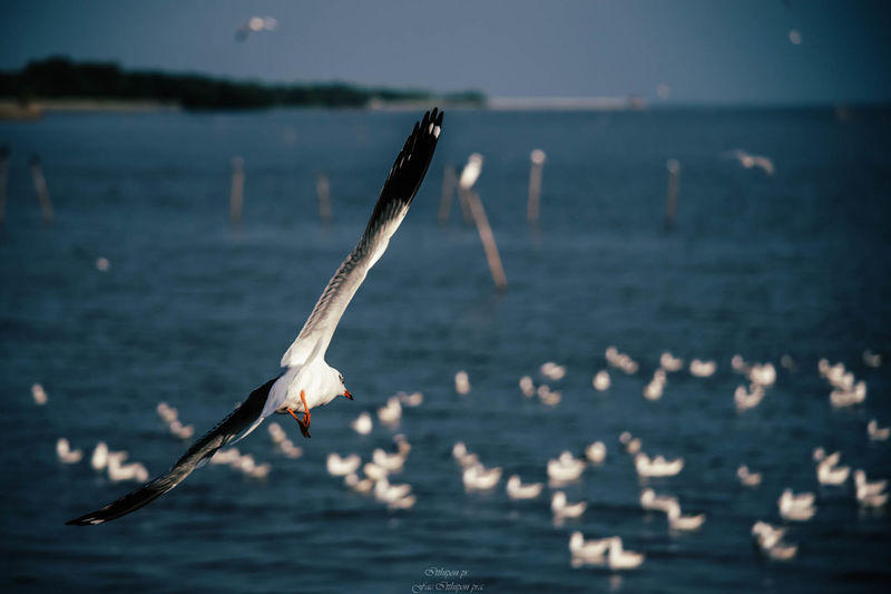 Water Animals In The Wild Flying Animal Wildlife Sea Bird Vertebrate Spread Wings Animal Animal Themes Beauty In Nature Waterfront No People Nature Focus On Foreground Tranquility One Animal Seagull Outdoors Marine