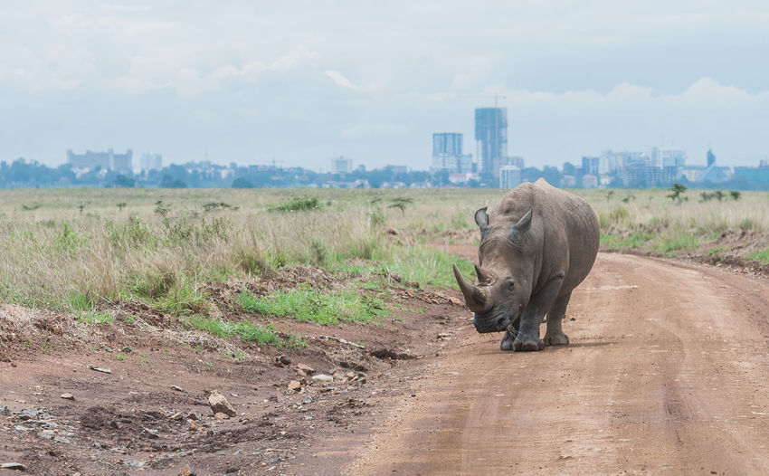 Rhinoceros walking on dirt road against cloudy sky during sunny day
