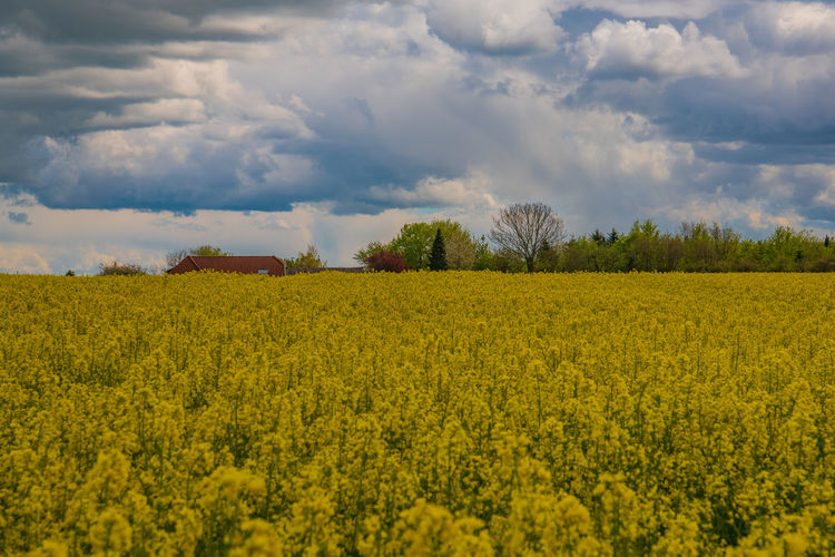 Flower Blossom Lighthouse Rapeseed Blossom RapeFlowers Rapeseed Field Cloud - Sky Spring Countryside Village Life Village Germany Beauty In Nature Yellow Scenics - Nature Plant Sky Land Tranquil Scene Field Growth Landscape Tranquility Environment Oilseed Rape Agriculture Flowering Plant Rural Scene Nature Farm No People