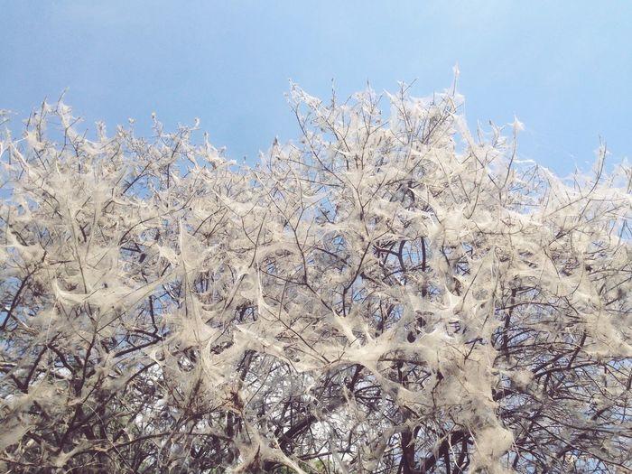 Nature Growth Plant Day Sky Communal Web Web Ermine Moth Tree Premium Collection