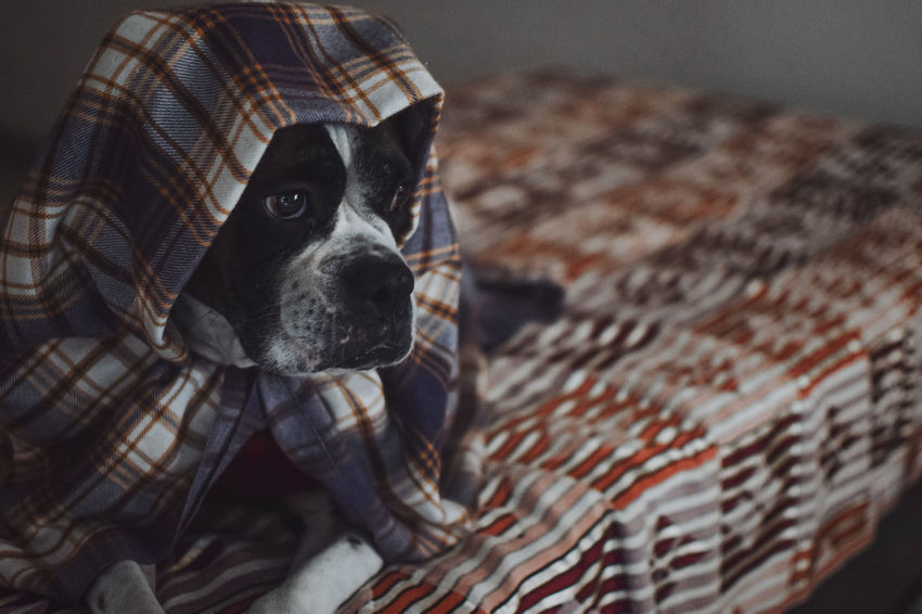 Sir Wrapped Sultan 🕵️‍♂️🐶 InMakin! Randomness Selective Focus EyeEm Selects Boxer Dogs Wrapped Fabric Fabric Detail Print Nikon Pets One Animal Dog Animal Domestic Animals Animal Themes Looking At Camera Mammal Portrait Indoors  Close-up No People Inner Power