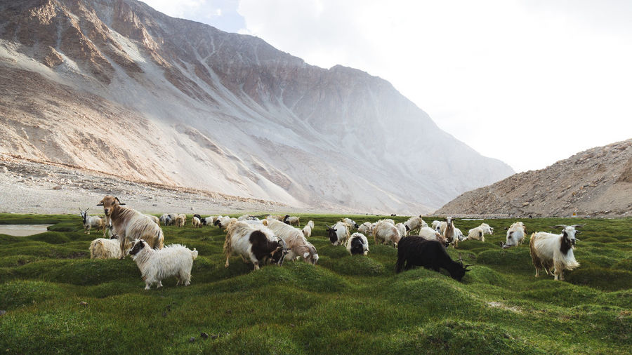 Goats Grazing On Grassy Field