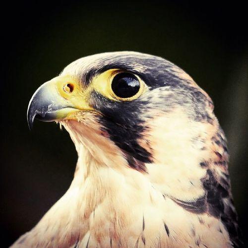 Treffer... Birds Eagle Wildlife Close-up Eyes