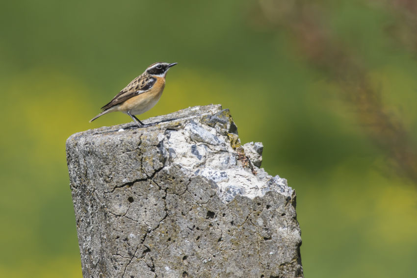 A whinchat is sitting on a branch Branches Feathers Grass Nature Saxicola Rubetra Animal Animald Life Animals Animals World Bird Birds Birds Life Birds World Branch Branchlet Feather  Feathering Landsacape Meadow Outdoors Plumage Robin Whinchat Wildlife
