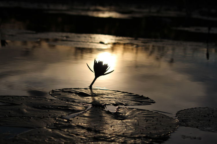 Beauty In Nature Flower Head Lily Flower Lily Lightbul Lily Pad Nature Outdoors Plant Reflection Reflection Still Water Sunset Tranquility Water