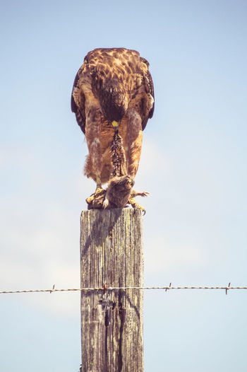 Low angle view of eagle feeding on prey at wooden pole against clear sky