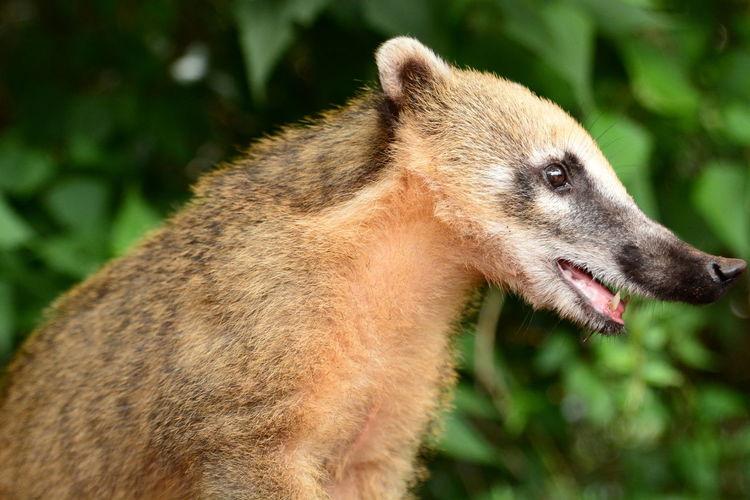Coati. iguazu national park. misiones. argentina