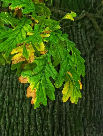 Green leaves hanging in front the tree trunk Autumn Lines Shapes Wither Beauty In Nature Branch Close-up Day Fall Focus On Foreground Fragility Freshness Green Color Growth Leaf Leaves Nature No People Outdoors Plant Structure Tree Tree Trunk Yellow