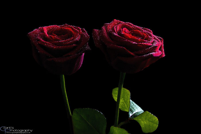 Windowlighting used to light some Roses Beautiful Beauty In Nature Black Background Close-up Flower Flower Head Fragility Freshness Growth Leaf Malephotographerofthemonth Nature No People Roses🌹 Studio Shot Stunning