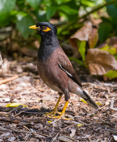 Dec 2016 - Common Myna Beak Common Myna Bird Looking At Camera Birds In Nature Birds Of Melbourne Day Focus On Foreground Greenery One Bird Portrait Shrubbery